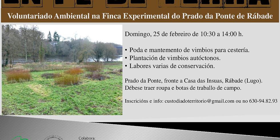 Poda de vimbios para cestería no Prado da Ponte