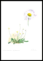 Leucanthemun gallaecicum_web.png