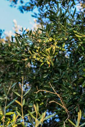 Les olives à Pura Natura