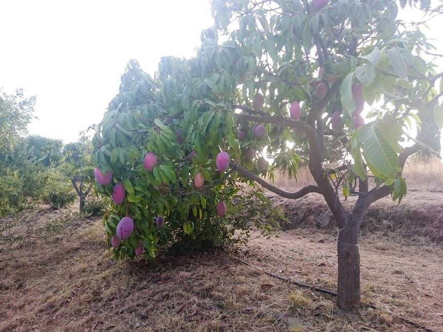 Les mangues de Pura Natura