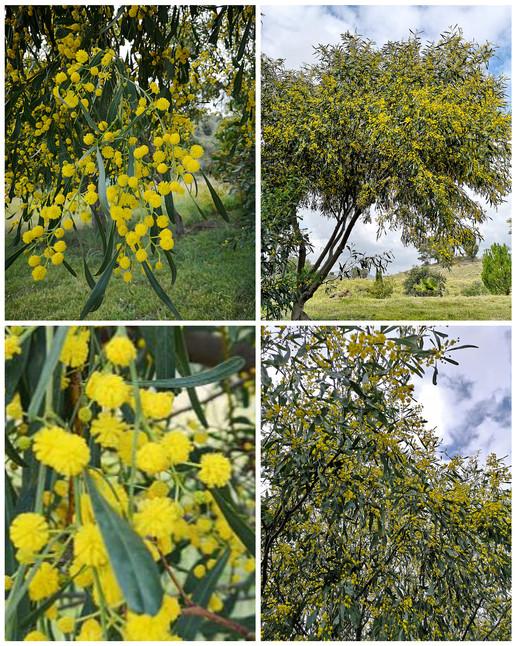 Mimosa ou Acacia
