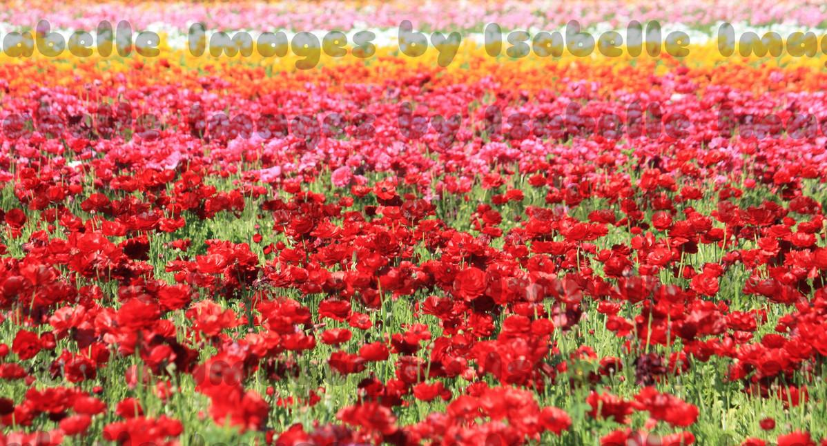 A Rainbow of Petals