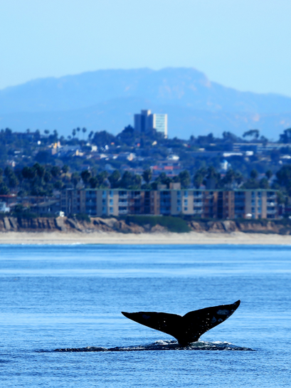 Whale Tail in Mission Bay