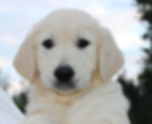 Golden Retriever European English Cream puppy