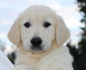 Golden Retriever European English Cream puppy