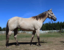 Quarter horse at Tradition Kennel