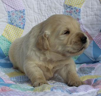 Golden retriever puppy male