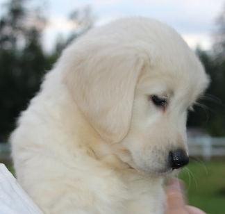 Golden Retriever puppy profile