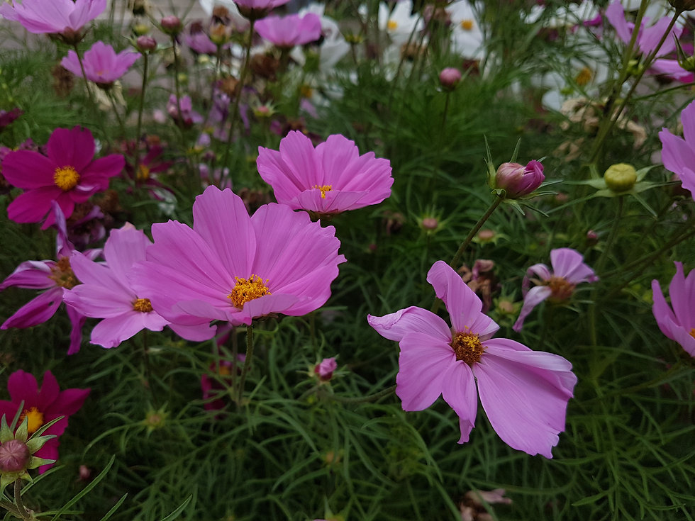 Pink and mauvey cosmo flowers with orangy centres and fluffy looking leaves blurred in the back