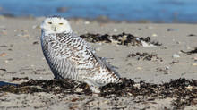 Snowy Owl Irruption 2014