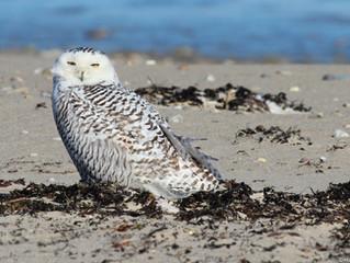 Snowy Owl Irruption 2014