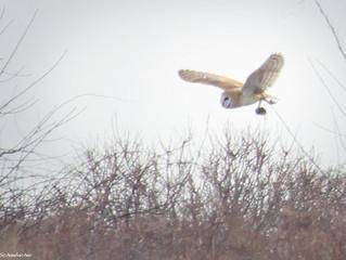 Barn Owl Life Bird at Sachuest Point NWR.