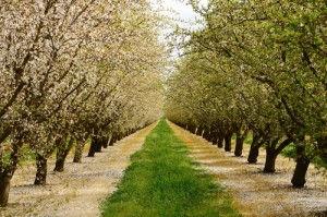 Almond-Orchard-300x199.jpg