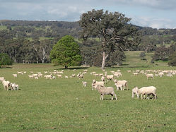 ewes and lambs Pucketts.JPG