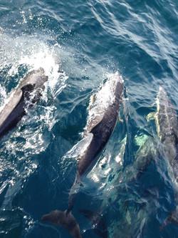 dauphins côte Sicile