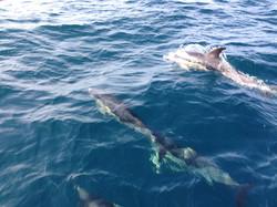 Dauphins à Minorque
