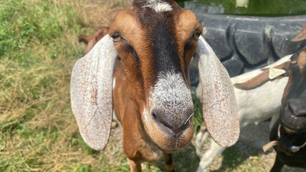 Goat Milk Soap  Homesteading Nubian Goats Goat Milk Products Skin Care Soap Lotion Facial Moisturizer Facial Scrubs
