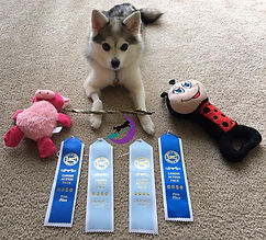 Luna Gluten Detection Service Dog, Celiac Service Dog, UKC URO1 Title. Luna, a gray and white Alaskan Klee Kai, is lying down on a light beige carpet, looking up at the camera. On either side of her are toys that were given as prizes. In front of her are two first place blue ribbons, and two light blue qualifying ribbons. Across her front paws is a fish skin chew, her special prize for earning her Rally 1 title.