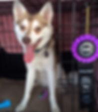 Zephyr Gluten Detection Service Dog, Celiac Service Dog, NACSW K9 Nose Work L1C