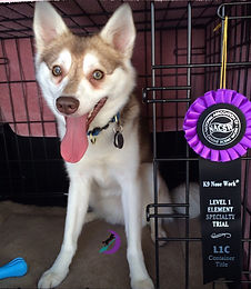 Zephyr Gluten Detection Service Dog, Celiac Service Dog, NACSW K9 Nose Work L1C. Zephyr, a red and white Alaskan Klee Kai is sitting in an open crate, facing the camera with mouth open and tongue hanging out. Next to him on his left is a purple and black rosette title ribbon.