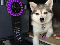 Luna Gluten Detection Service Dog, Celiac Service Dog, NACSW K9 Nose Work L1I Title. Luna, a gray and white Alaskan Klee Kai, is lying down in an open crate, facing the camera, with one paw tucked under her body. To her right is a purple and black rosette title ribbon.