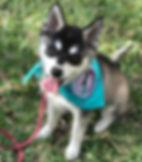 Maera Gluten Detection Service Dog in Training, Celiac Service Dog in Training