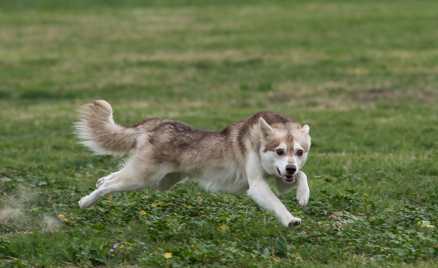 Zephyr, Gluten Detection Service Dog, Celiac Service Dog. Zephyr, a red and white Alaskan Klee Kai, is pictured running full speed in a grass field, he is supsended in air mid-stride wtih front legs extended in front of him, and rear legs extended back.
