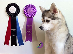 Luna Gluten Detection Service Dog, Celiac Service Dog, NACSW K9 Nose Work NW1 Title. Luna, a gray and white Alaskan Klee Kai, is sitting facing to the left. Next to her on a white wall behind her are two rosette ribbons, one is purple and white for a second place containers search, one is black red and blue for the NW1 title.