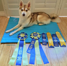 Zephyr, Gluten Detection Service Dog, UKC Champion. Zephyr, a red and white Alaskan Klee Kai, is lying down on a turquoise mat on top of a bamboo floor. He is looking at the camera. In front of him are three blue first place ribbons, two blue and white best male ribbons, and two large blue and light green rosettes, one for best male of variety and one for reserve best male.