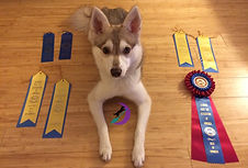 Zephyr Gluten Detection Service Dog, Celiac Service Dog, UKC Champion Title. Zephyr, a red and white Alaskan Klee Kai is lying down on a bamboo floor, looking up at the camera. Around him on the floor are two blue first place ribbons, four blue and white best male ribbons, and a blue and red best of winners rosette ribbon.