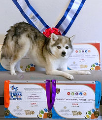 Luna Gluten Detection Service Dog, CCF2, CCF3, CCF4, and CCF-CH titles. Luna, a gray and white Alaskan Klee Kai, is in a bow position, with her body in a 3/4 position to the camera, she is looking at the camera. Behind her are two title certificates and a red, white and blue title rosette sash. In front of her are two title certificates and three title medals.