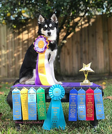 """Maera, Gluten Detection Service Dog, UKC Rally 1 URO1 Title, High in Trial. Maera, a black and white Alaskan Klee Kai, sits on top of a Klimb pedestal, wearing a purple, white, and yellow """"high in trial"""" rosette ribbon. Next to her, to her left side, on the Klimb is a star shaped """"high in trial"""" trophy. On the front of the Klimb are four light blue qualifying ribbons, one each first through fourth place ribbons, and in the center a turquoise title rosette."""