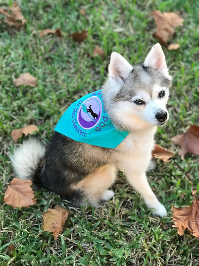 """Luna, Gluten Detection Service Dog, Celiac Service Dog. Gluten Detection Trainer. Scent Detection Trainer. Dog Trainer. Luna, a gray and white Alaskan Klee Kai, is sitting on grass facing the right. Her head is turned to face the camera. She is wearing a teal bandana featuring the Luna Service Dogs Inc. logo. The bandana says """"Service Dog Do Not DIstract"""" embroidered in purple."""