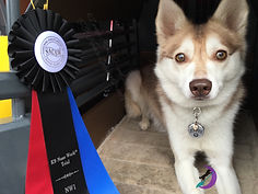 Zephyr Gluten Detection Service Dog, Celiac Service Dog, NACSW K9 Nose Work NW1. Zephyr, a red and white Alaskan Klee Kai, is lying down in an open crate, facing the camera. Next to him on his right is a black red and blue rosette title ribbon.