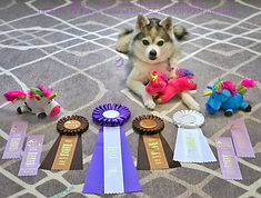 Luna Gluten Detection Service Dog, Celiac Service Dog, USCSS IN EN DDN Titles. Luna, a gray and white Alaskan Klee Kai is lying down on a gray and white patterned area rug. Luna is facing the camera, on her front legs is a pink unicorn plush toy. In front of her are four lilac qualifying flat ribbons, one white fourth place rosette ribbon, two brown and tan rosette title ribbons (IN, EN), and in the center one large purple and white title ribbon (DDN).