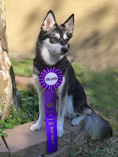 Maera, Gluten Detection Service Dog, Barn Hunt Instinct Title. Maera, a black and white Alaskan Klee Kai sits on a stone ring at the base of a tree, wearing a purple rosette title ribbon.