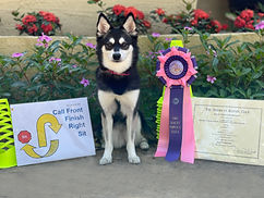 Maera, Gluten Detection Service Dog, Barn Hunt RATN Title. Maera, a black and white Alaskan Klee Kai, sits facing the camera, between a Rally Obedience sign and her RN title certificate, with a pink and purple title ribbon.