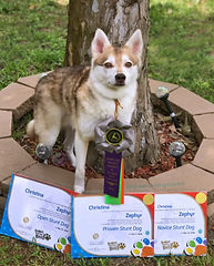 Zephyr Gluten Detection Service Dog, Celiac Service Dog, DMWYD Stunt Titles. Zephyr, a red and white Alaskan Klee Kai, is standing in a stone ring around the base of a tree. He is wearing three rosette ribbons (gray and green, gray and purple, and gray and orange). In front of him, propped against the stones, are three title certificates.
