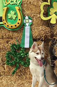 Zephyr Gluten Detection Service Dog, Celiac Service Dog, AKC CA Title. Zephyr, a red and white Alaskan Klee Kai, is sitting on a bale of hay, looking to his left with mouth open and tongue hanging out. Behind him are several stacked bales of hay decorated with green clovers and a green and white title rosette ribbon.