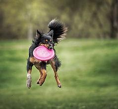Chien qui attrape un Frisbee