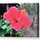 Thumbnail: Red Hibiscus Canvas