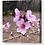 Thumbnail: Peach Blossom Canvas