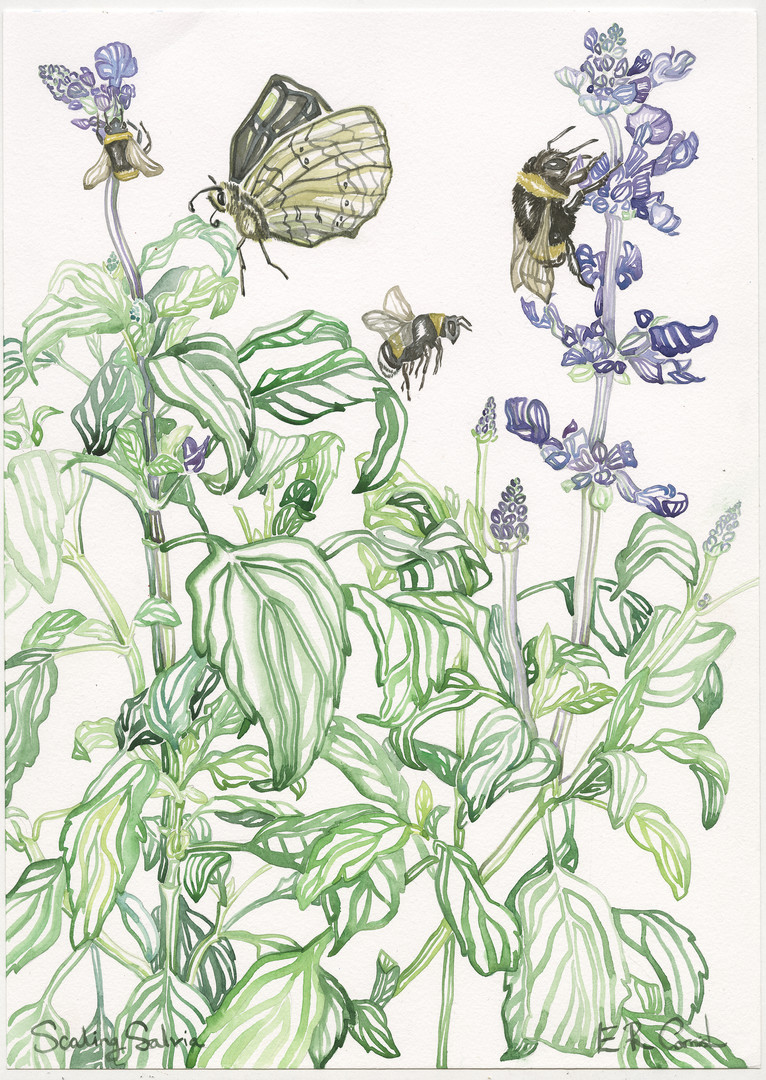 Scaling Salvia.jpg