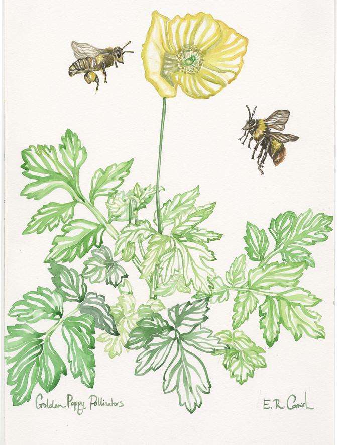 Golden Poppy Pollinators