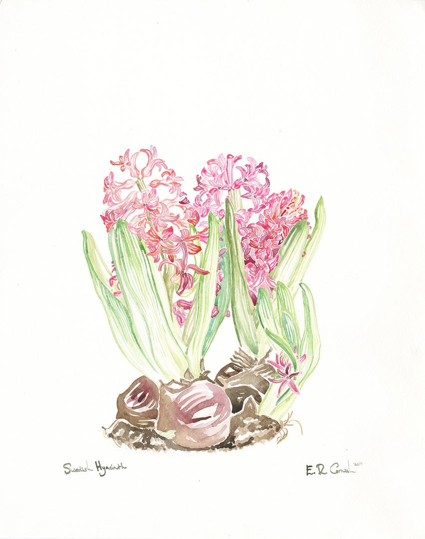 Swedish Hyacinth