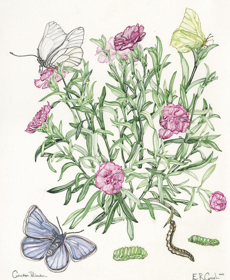 Carnation Pollination