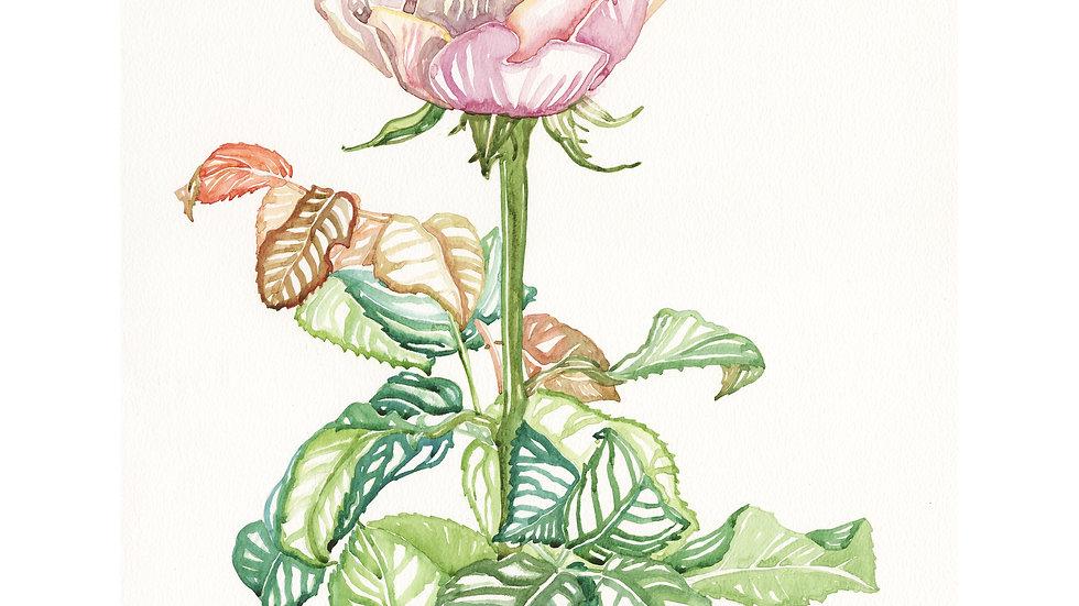 Petit's Rose | 40 x 50cm limited edition print