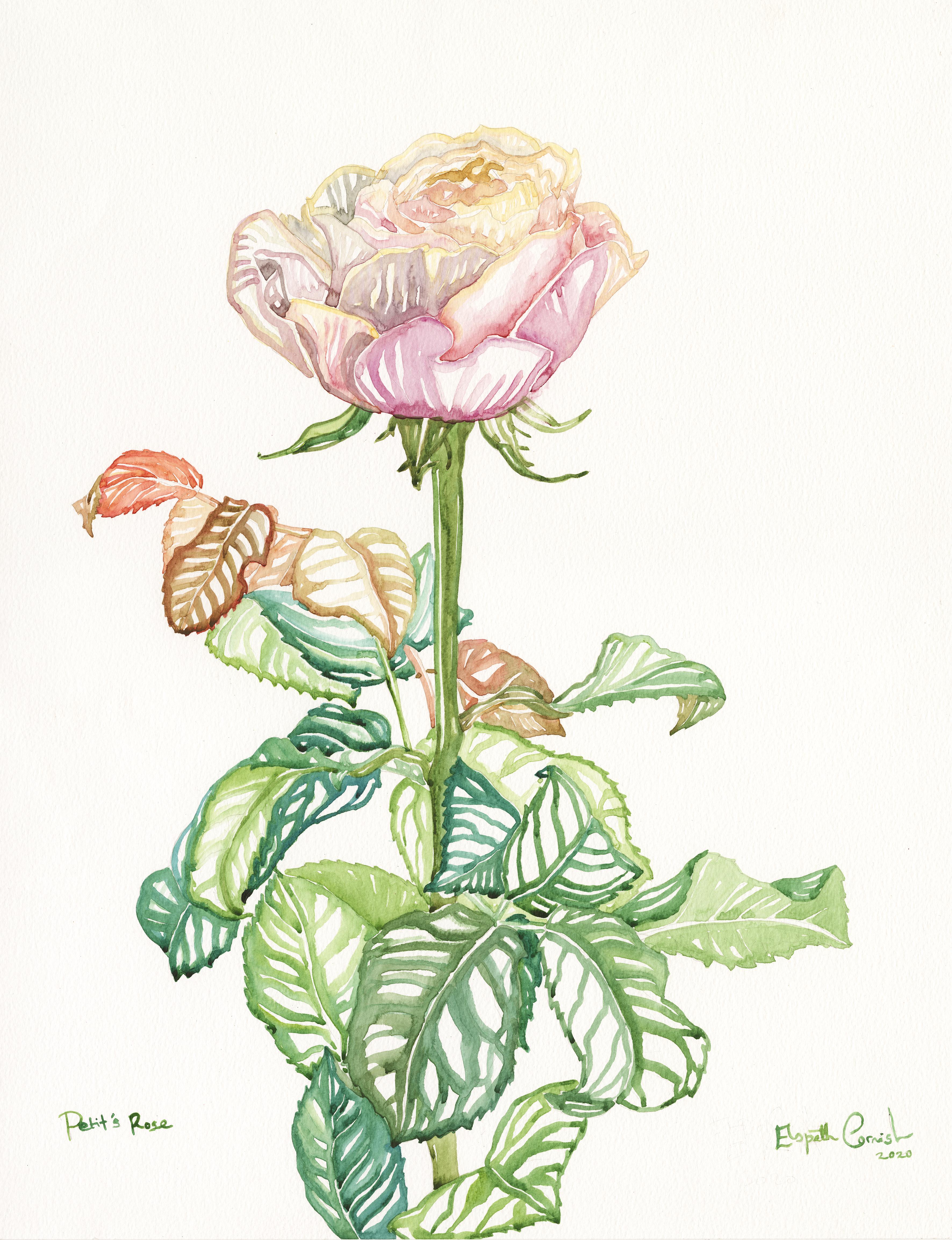Petit's Rose