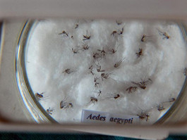 Vacina contra chikungunya já passa por testes em humanos