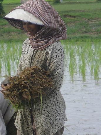Tha woman Rice paddi.jpg